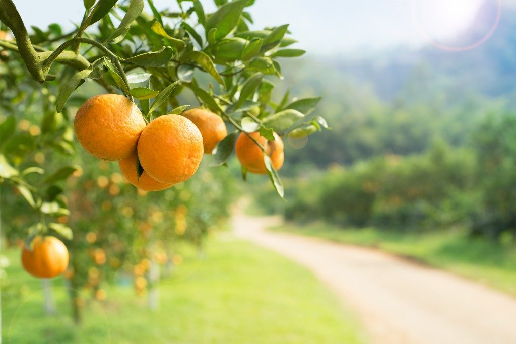oranges in the produce farm